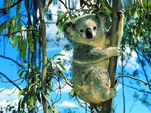 wallpaper-koala-photo-07